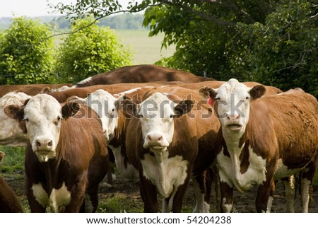 purebred hereford cattle looking from a pasture with trees in background - stock photo
