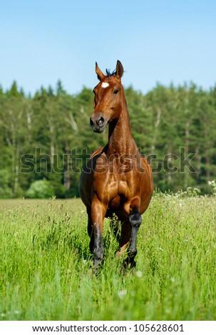 purebred horse - stock photo