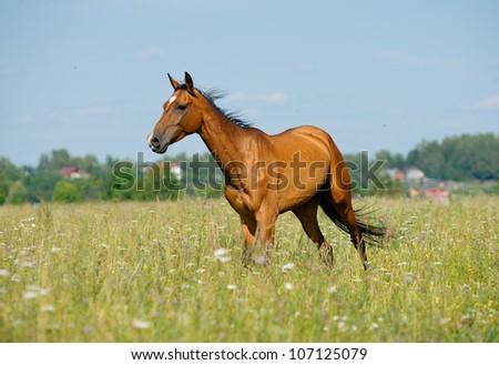 purebred horse in field - stock photo