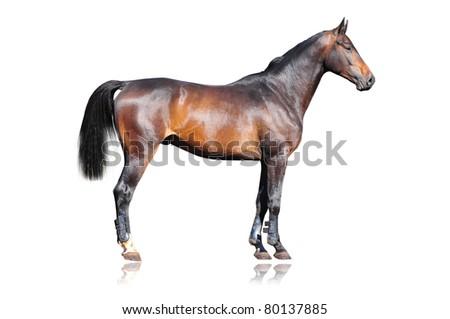 purebred horse isolated on white - stock photo