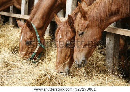 Purebred horses eating fresh hay between the bars of an old wooden fence. Thoroughbred horses in the paddock eating dry grass - stock photo