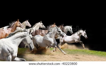 purebred horses herd on black - stock photo