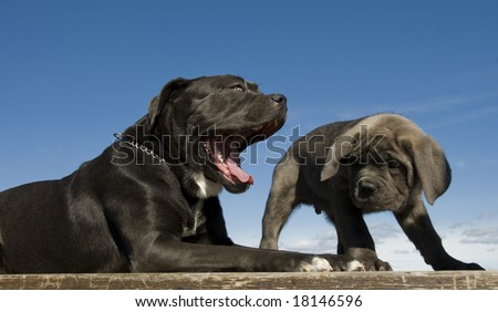 purebred italian mastiff mother and puppy together - stock photo