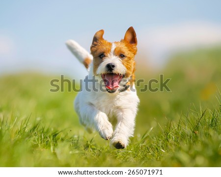 Purebred Jack Russel Terrier dog outdoors on a sunny summer day.