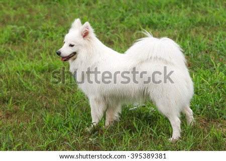 Purebred Japanese Spitz dog portrait  in outdoors - stock photo