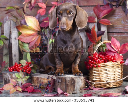 purebred miniature dachshund dog - stock photo