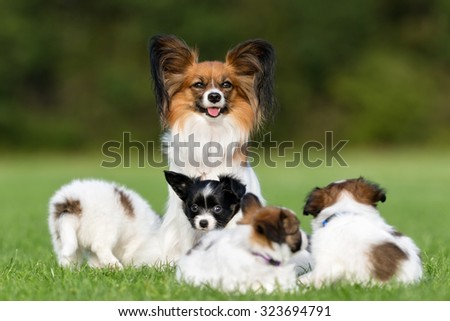Purebred papillon dog mother and her four young puppies outdoors on grass on a sunny summer day. - stock photo