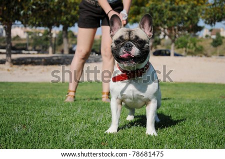 Purebred Pet Tricolor Canine French Bull Dog Puppy on Leash Wearing Red Collar Bouledogue Français - stock photo