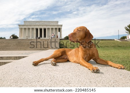 purebred pointer dog laying in front of Lincoln Memorial, Washington DC - stock photo