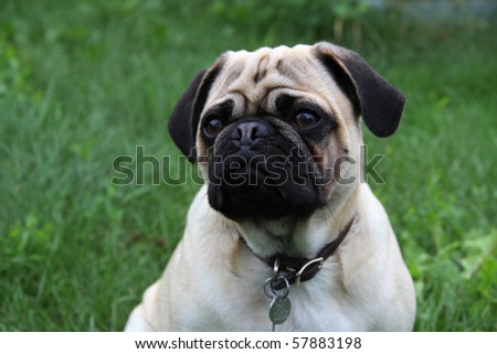 Purebred Pug Pup  on grass background - stock photo