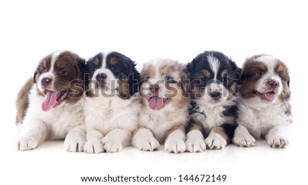 purebred puppies australian shepherd  in front of white background