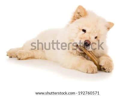 Purebred, puppy chow chow eats bone - stock photo