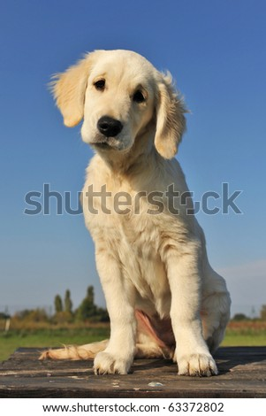 purebred puppy golden retriever on a table outdoors - stock photo