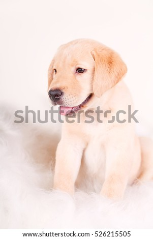 purebred puppy labrador retriever on a white background