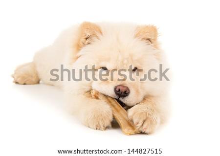 Purebred puppy with a bone - stock photo