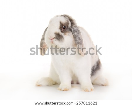 Purebred rabbit isolated on white background in studio.