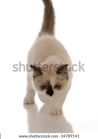 purebred ragdoll kitten stalking with reflection on white background - stock photo