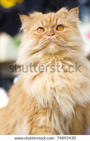 Purebred red persian cat - stock photo