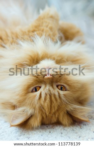 Purebred red persian cat enjoying life - stock photo