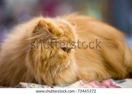 Purebred red Persian cat, shallow depth of field - stock photo