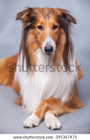 Purebred Rough Collie dog portrait  in studio