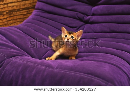 purebred ruddy Abyssinian kitten on the violet sofa shocked and scared - stock photo