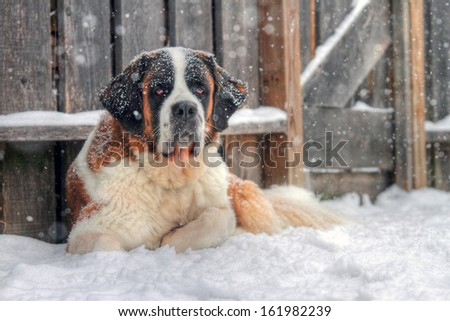 Purebred Saint Bernard dog laying outside during a winter snow storm. - stock photo