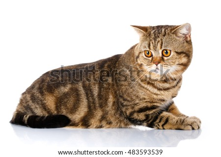 Purebred Scottish Straight Male Cat Lying on Isolated white Background, Side view