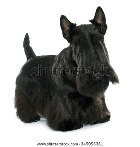 purebred scottish terrier in front of white background