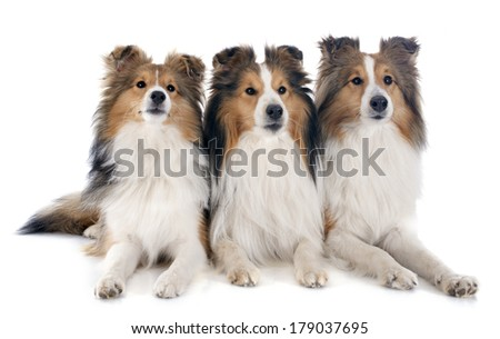 purebred shetland dogs in front of white background