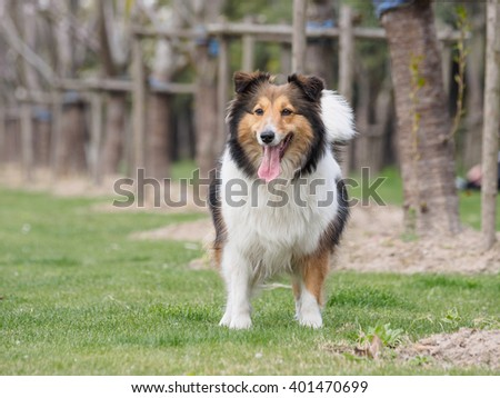 Purebred Shetland Sheepdog outdoors in the nature on grass meadow on a spring sunny day. - stock photo