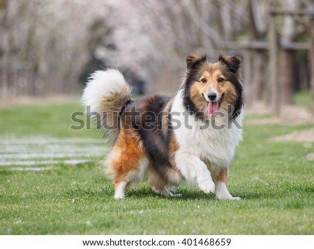 Purebred Shetland Sheepdog outdoors in the nature on grass meadow, the moment of rushing