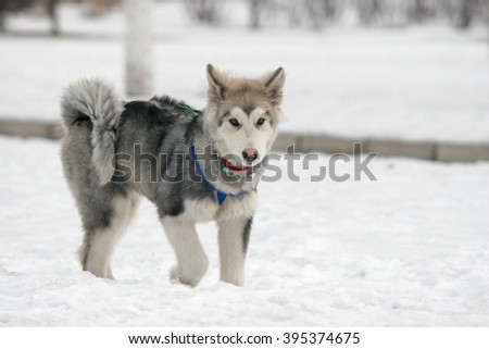 Purebred Siberian husky  dog  portrait  in outdoors