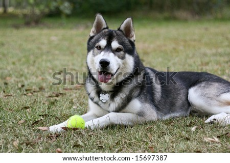 purebred SIberian Husky outside with his tennis ball