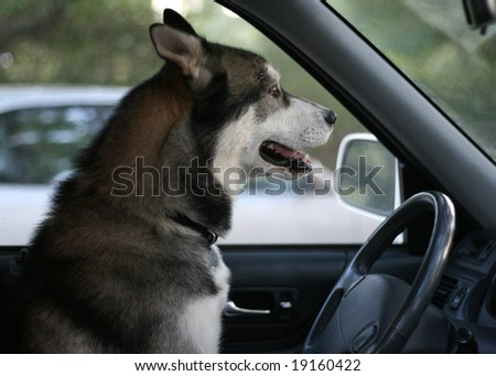 purebred Siberian Husky sitting in the driver's seat - stock photo
