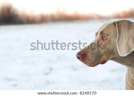 Purebred weimaraner in field - stock photo