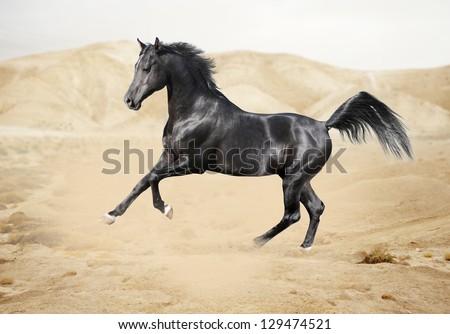 Purebred white arabian horse in desert - stock photo
