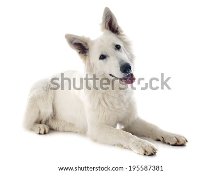 Purebred White Swiss Shepherd in front of white background