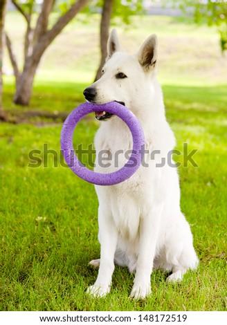 Purebred White Swiss Shepherd  playing toy puller  - stock photo
