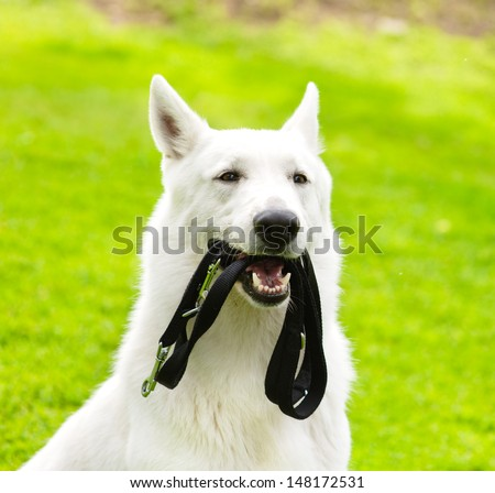 Purebred White Swiss Shepherd  with a leash in his mouth - stock photo