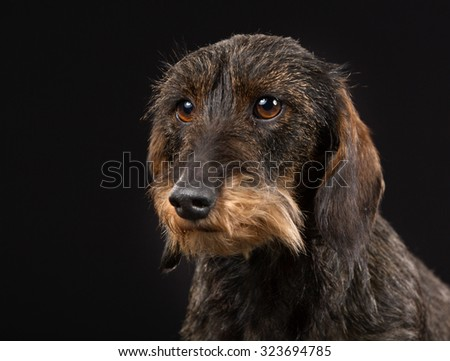 Purebred wirehaired dachshund indoors in studio and isolated on black background.