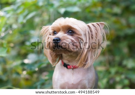 Purebred yorkshire terrier outdoor closeup portrait looking at camera