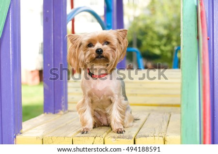 Purebred yorkshire terrier outdoor portrait on playground