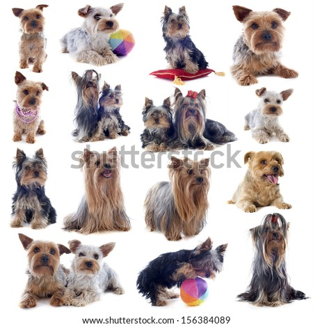 purebred yorkshire terriers in front of white background