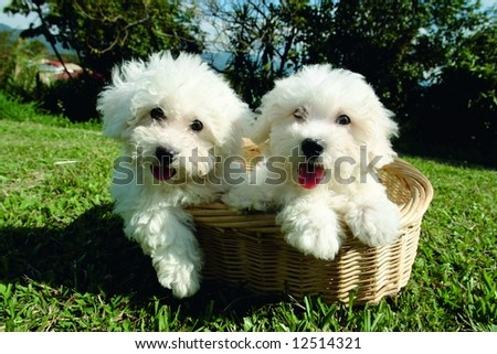 Purebreed bichon frisee puppies in a basket - stock photo