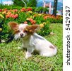 Purebreed chihuahua dog sitting sideways - stock photo