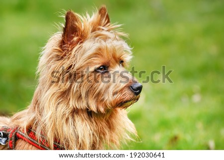 Pured Australian Terrier dog outside on grass during spring time.