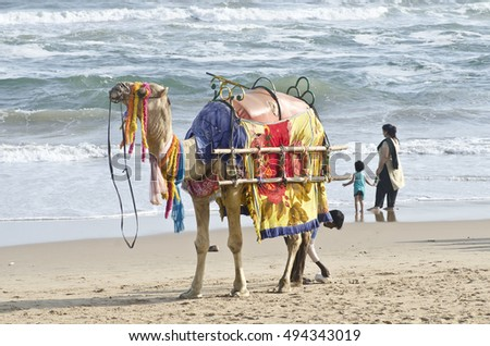 Puri,Orissa,1st oct 2016 A camel is standing  at puri golden beach.It is used for riding.