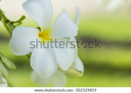 purity of white Plumeria or Frangipani flowers. blossom of tropical tree on natural light background for use as background and text input - stock photo