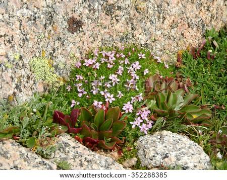 purple alpine phlox wildflowers seen while hiking  up mount evans, colorado - stock photo
